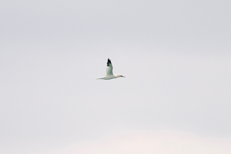 Northern Gannet off the coast...we saw a number of them.