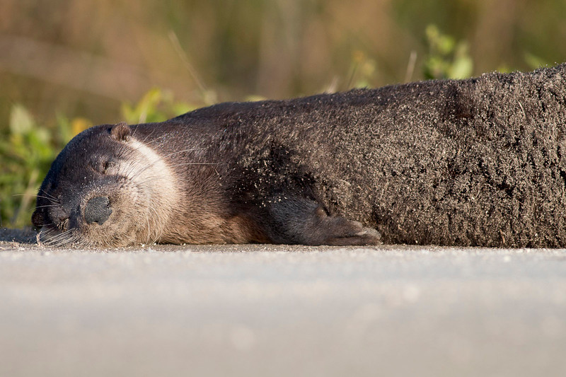 Napping Otter