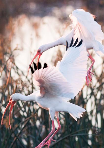 White Ibises squabbling