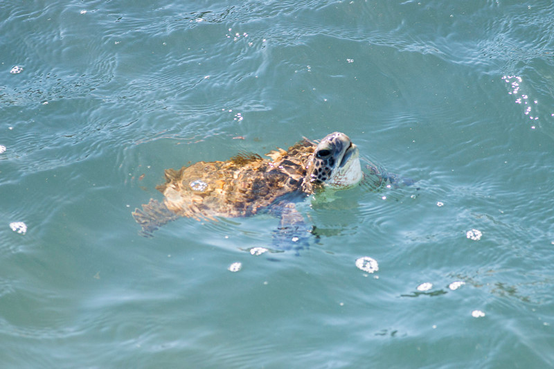 Green turtle...one of many we saw in the inlets.