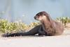Posing Otter