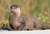Otter Alert!