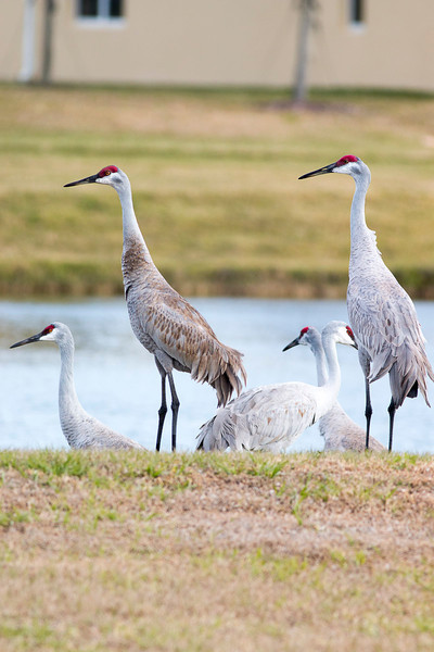 Group of Sandhill Cranes by the road.