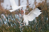 White Ibis fighting over a feeding spot