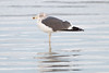 Lesser Black-backed Gull...one of many we saw at Daytona.