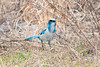 "Florida Scrub Jay feeding in the grass...note all the ""jewelry"" - these birds are all banded and are carefully watched"