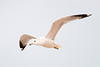 Ring-billed gull at dusk