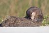 Preening Otter