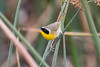 Common Yellowthroat - always curious to see these in different parts of the country, since there are several races.