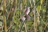 Pair of Savannah Sparrows
