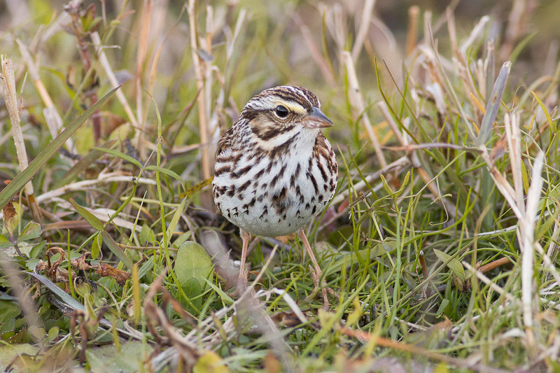 Savannah Sparrow in the grass...there were a lot of these on the trip.