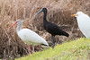 Glossy and White Ibises, with a Cattle Egret looking on at Viera Wetlands.