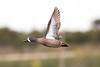 Blue-winged Teal in flight
