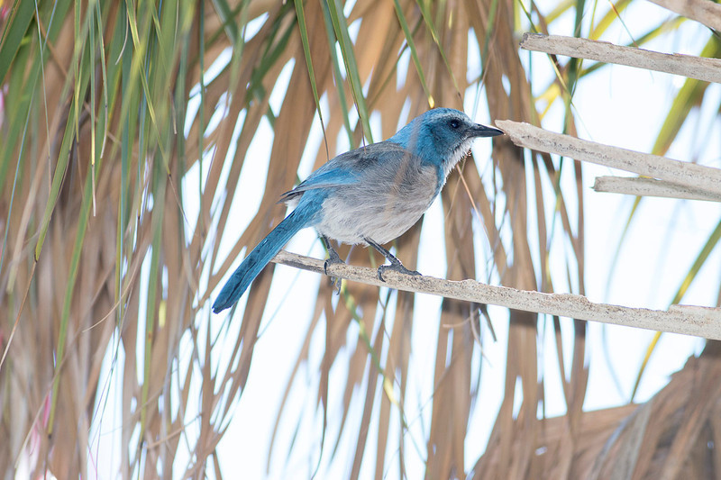 Florida Scrub Jay at Merrit Island...endemic to Florida and endangered.