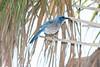 Florida Scrub Jay at Merrit Island...endemic to Florida and endangered.