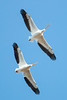 White Pelicans soaring above