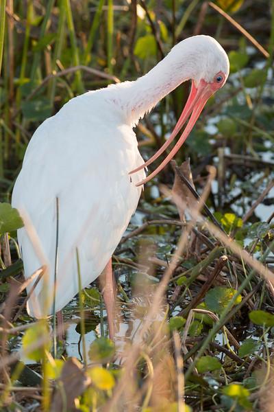 Preening White Ibis
