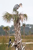 Great Blue Heron nest, with an attending Anhinga, at Viera Wetlands.