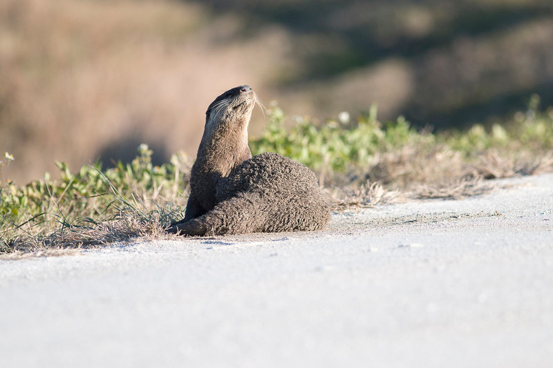 Otters round 2!  Out on the road taking a dust bath