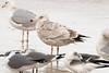 Nelson's Gull at Daytona Beach - this is a hybrid of  Herring Gull and Glaucous Gull.