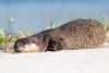 Snoozy Otter