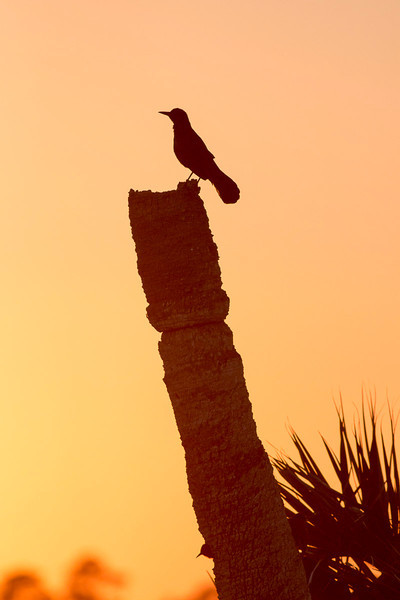 Boat-tailed Grackle at sunset