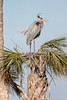 Great Blue Heron in the breeze