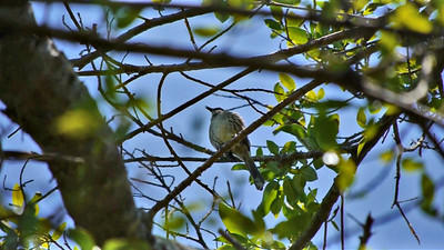 Bahama Mockingbird video   (Click ► to play)