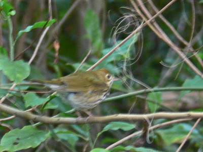 Ovenbird (Terrible photo as bird flew off just as I pressed the shutter release)