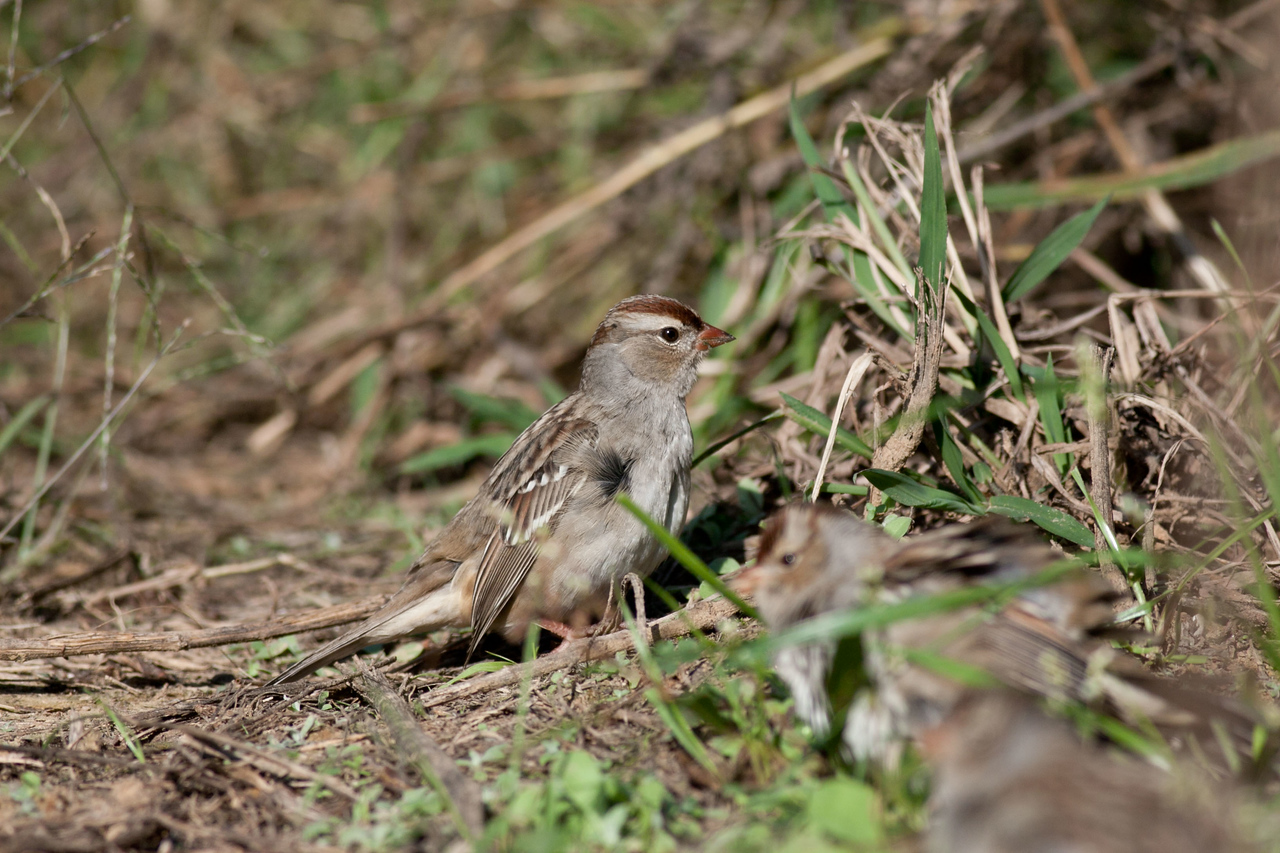 Female White Crowned Sparrow