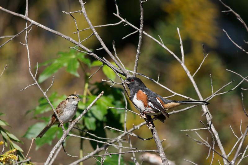 Eastern Towhee & White Throated Sparrow