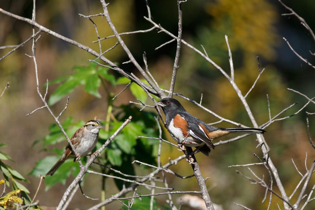 Eastern Towhee & White Throated Sparrow