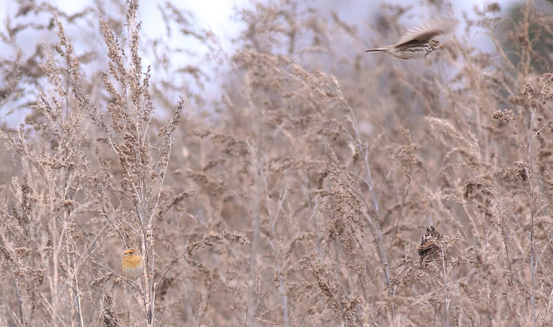 LeConte's Sparrow and 2 Song Sparrows