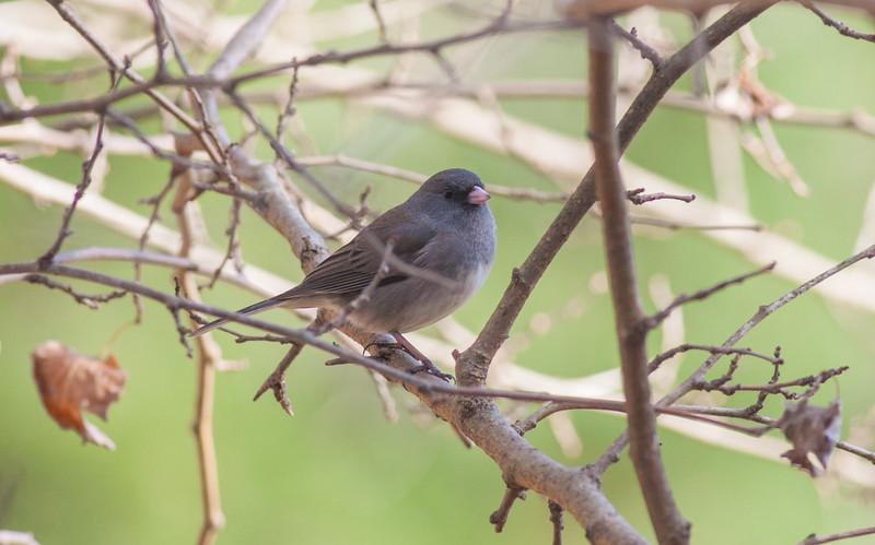 Dark-eyed Sparrow