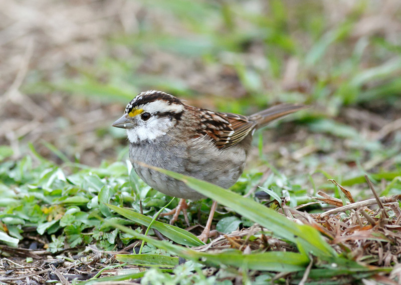 White-throated Sparrow with unusual coloration