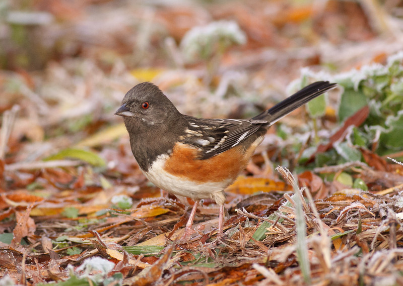 Spotted Towhee<br /> Smith Co. TX