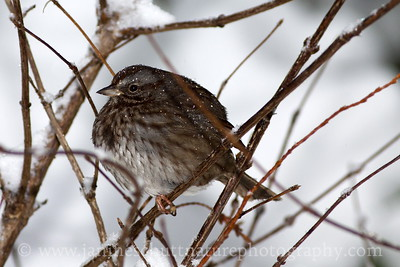Puffed up Song Sparrow on a cold, snowy day.  Photo taken near Bremerton, Washington.