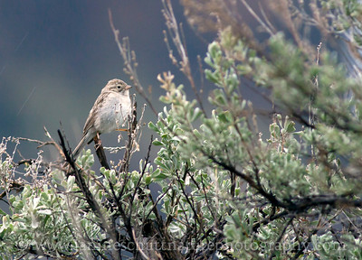 Brewer's Sparrow.  Photo taken near Palisades, Washington.