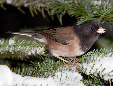 Male Dark-eyed (Oregon) Junco on a snowy noble fir tree branch.  Photo taken near Bremerton, Washington.