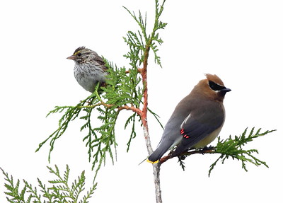 Savannah Sparrow and Cedar Waxwing sharing a western red cedar sapling, backdropped by a cloudy sky.  Photo taken at Theler Wetlands in Belfair, Washington.