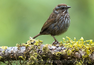 Song Sparrow at the Hoh Rain Forest, Olympic National Park near Forks, Washington.