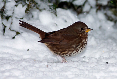 """Sooty"" Fox Sparrow in snow.  Photo taken near Bremerton, Washington."