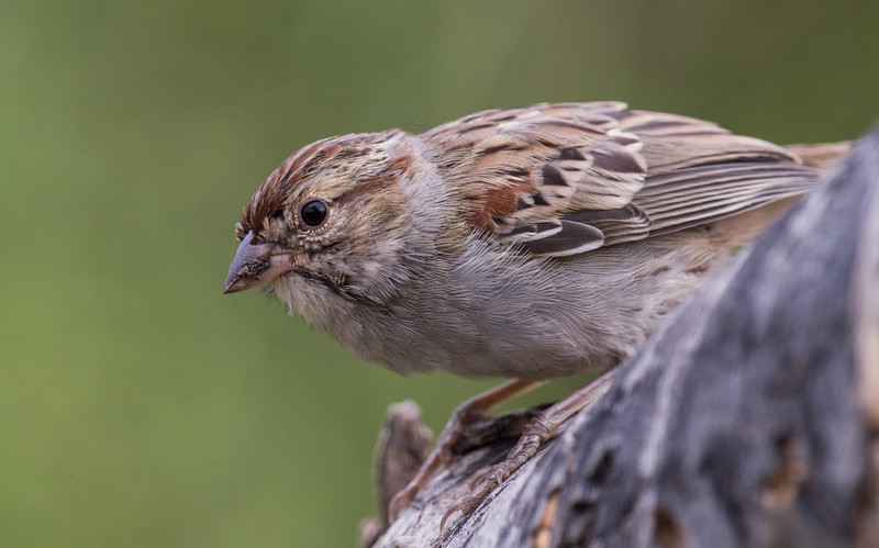Rufous-winged Sparrow (Peucaea carpalis)