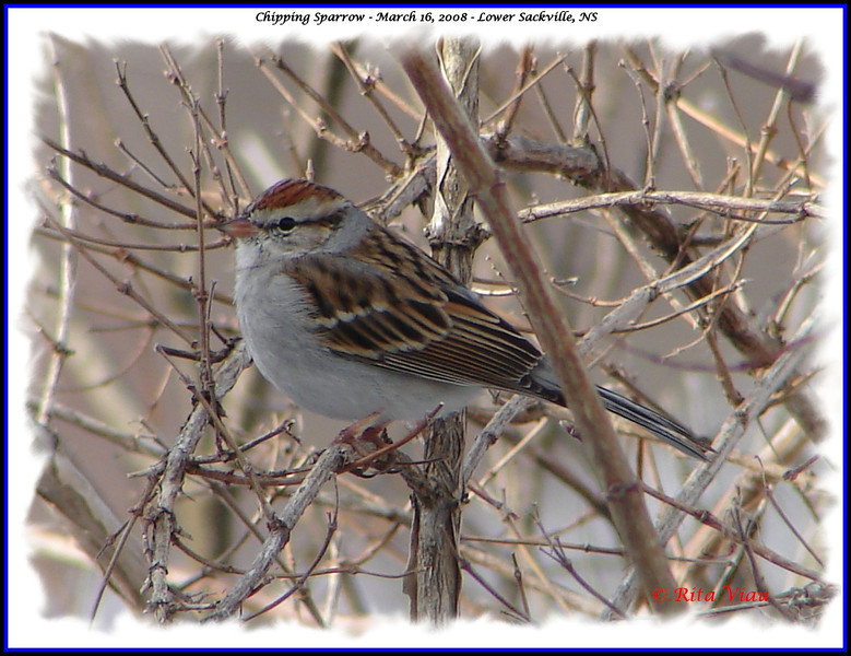 Chipping Sparrow - March 16, 2008 - Lower Sackville,NS
