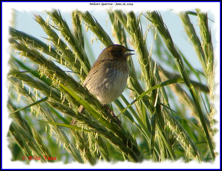 Nelson's Sparrow - June 16, 2009