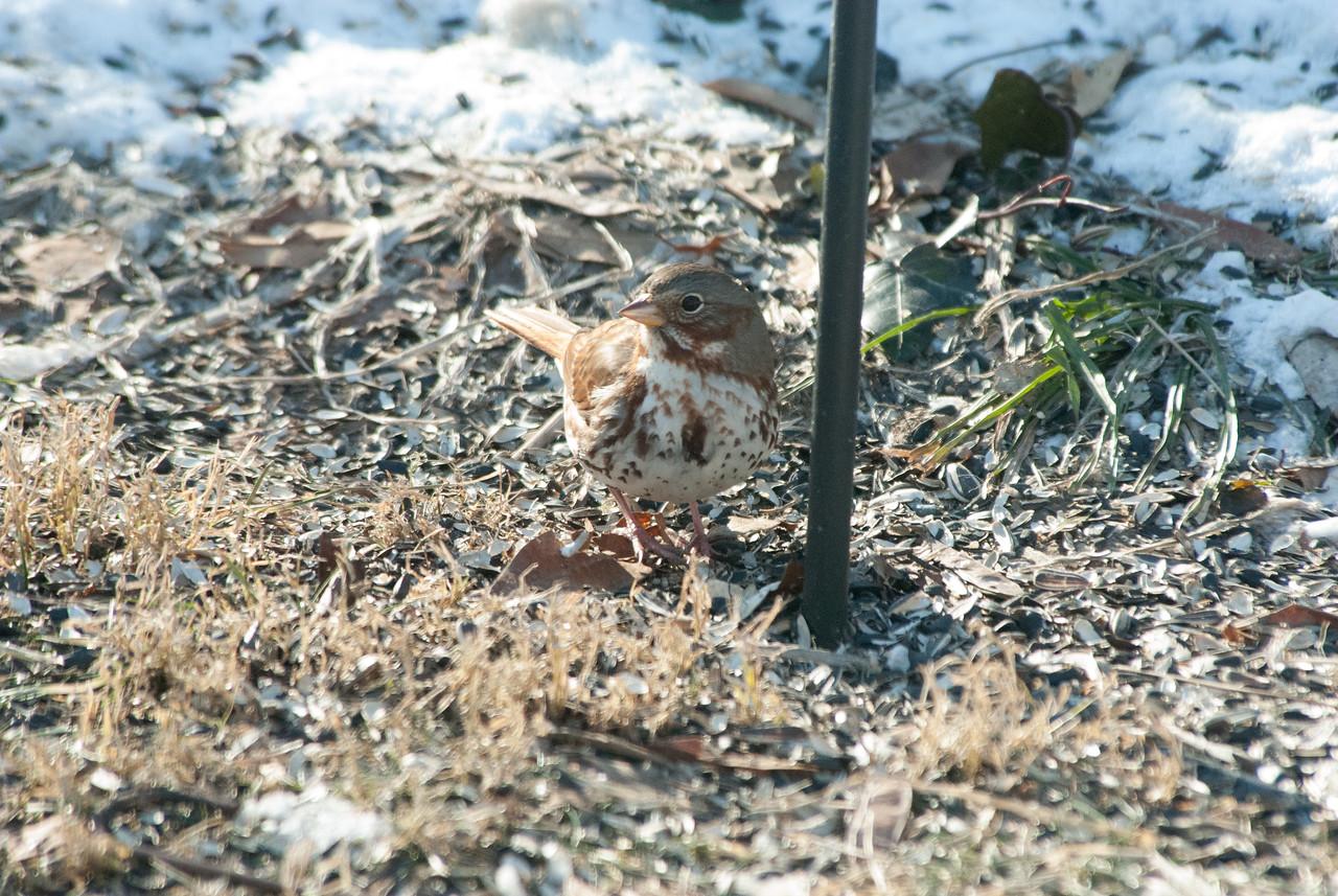 Fox Sparrow (2)