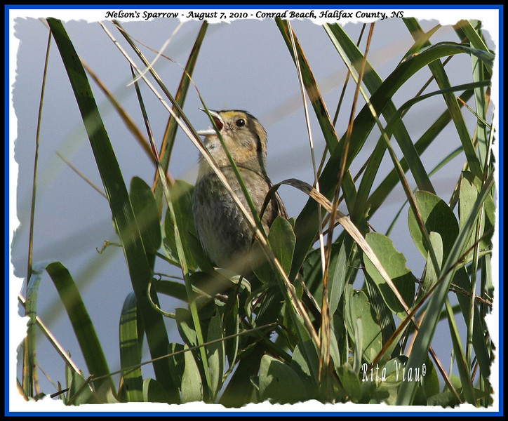 Nelson's Sparrow - August 7, 2010 - Conrad Beach, Halifax County, NS