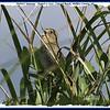 Nelson's Sparrow - August 7, 2010 - Conrad Beach, Halifax County, NS