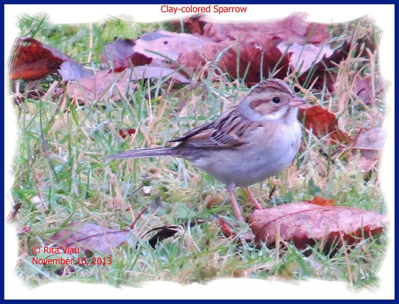 Clay-colored Sparrow - November 16, 2013 - Lr Sackville, NS
