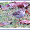 Clay-colored Sparrow - November 16, 2013 - Lr Sackville, NS